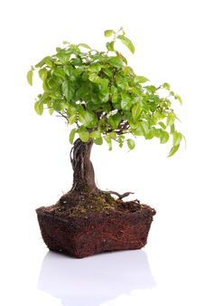 Free Bonsai Tree Royalty Free Stock Images - 8338519