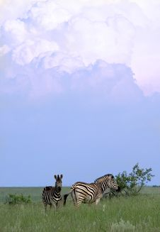 Free Zebra And Clouds Stock Images - 8338774