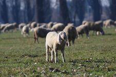 Free Sheep Royalty Free Stock Photos - 8339848