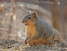 Free Squirrel Stock Image - 8339991