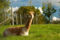 Free Vicuna Stock Image - 8341221