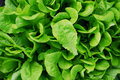 Free Green Lettuce Stock Images - 8341694