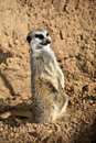 Free Meerkat Standing High Stock Photos - 8343973