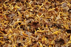 Free Golden Chanterelle Stock Photos - 8340943