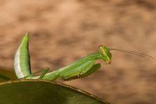 Free Mantis Royalty Free Stock Image - 8341916