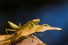 Free Mantis Stock Image - 8342001