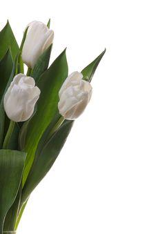 Free White Tulips. Royalty Free Stock Photos - 8342078