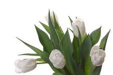 Free White Tulips. Stock Image - 8342111