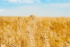 Free Wheat Spikes Stock Photography - 8342172