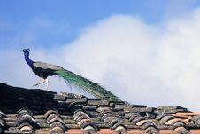 Free Peafowl Royalty Free Stock Image - 8342206