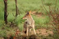 Free Alert Black Backed Jackal Stock Photo - 8342900