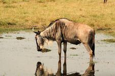 Drinking Wildebeest Royalty Free Stock Photo