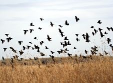 Free A Flock Of Yellow-Headed Blackbirds Stock Images - 8343134