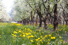 Free Trees In Spring Royalty Free Stock Photos - 8343278