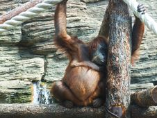 Thinking Monkey Royalty Free Stock Photos