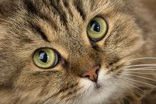 Free Curious House Cat Royalty Free Stock Photos - 8345528