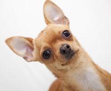 Free Chihuahua Portrait Stock Image - 8347041