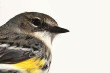 Free Bird Closeup Royalty Free Stock Photography - 8347467