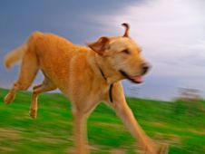Free Labrador Retriever Playing Stock Photo - 8348360