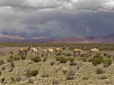 Free Wild Guanacos Stock Image - 8349001