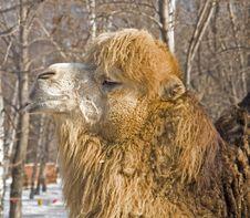 Free Camel Royalty Free Stock Photos - 8349768