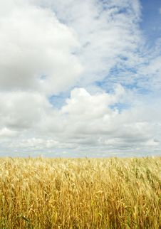 Free Wheat Field Over The Sky Background Royalty Free Stock Photo - 8349865