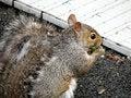 Free Eating Squirrel Stock Photos - 8352843