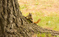 Free Baby Squirrel Climbing A Tree Stock Images - 8359494