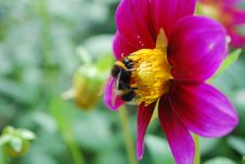 Bee And A Flower Royalty Free Stock Images