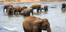 Free Elephants Royalty Free Stock Photos - 8352608