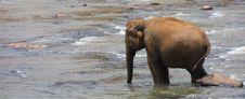 Free Elephants Royalty Free Stock Photography - 8352777