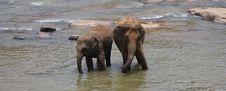 Free Elephants Royalty Free Stock Photos - 8352798