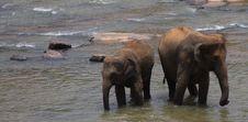 Free Elephants Stock Images - 8352824