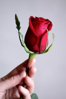 Free Hand Holding Beautiful Red Rose Royalty Free Stock Photo - 8353775
