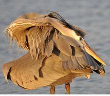 Free Great Blue Heron Royalty Free Stock Photos - 8354418