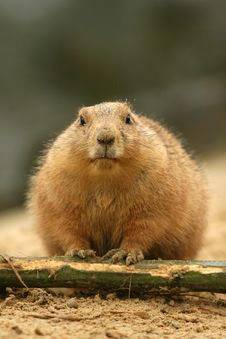 Free Prairie Dog Looking At You Royalty Free Stock Image - 8355146