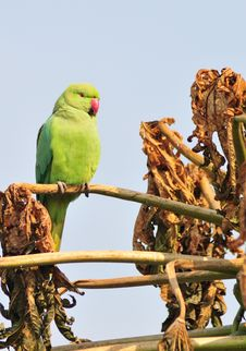 Free Green Parrot Stock Photography - 8355372
