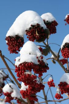 Branch Of The Viburnum In Snow Stock Image