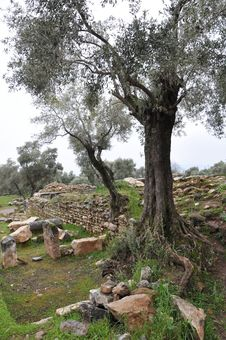 Free Olive Trees Royalty Free Stock Photography - 8355647