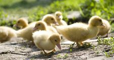 Free Little Ducklings Royalty Free Stock Photos - 8356418