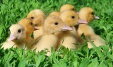 Free Little Ducklings Royalty Free Stock Images - 8356489