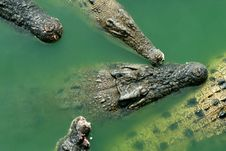 Free Crocodiles Stock Image - 8357971