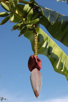 Free Banana Tree Stock Photos - 8358413