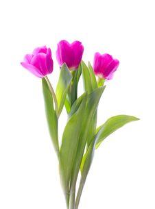 Free Three Pink Tulips Stock Image - 8358681