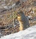 Free Squirrel Royalty Free Stock Image - 8362026