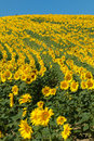 Free Sunflower Field Royalty Free Stock Image - 8364866