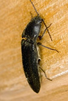 Large Click Beetle Stock Images