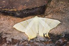 Free Yellow Moth Stock Images - 8360324