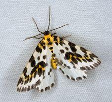 Free Magpie Moth Stock Photos - 8360373