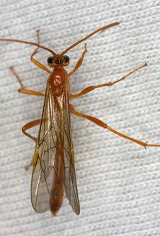 Free Ichneumon Wasp Royalty Free Stock Photos - 8360558